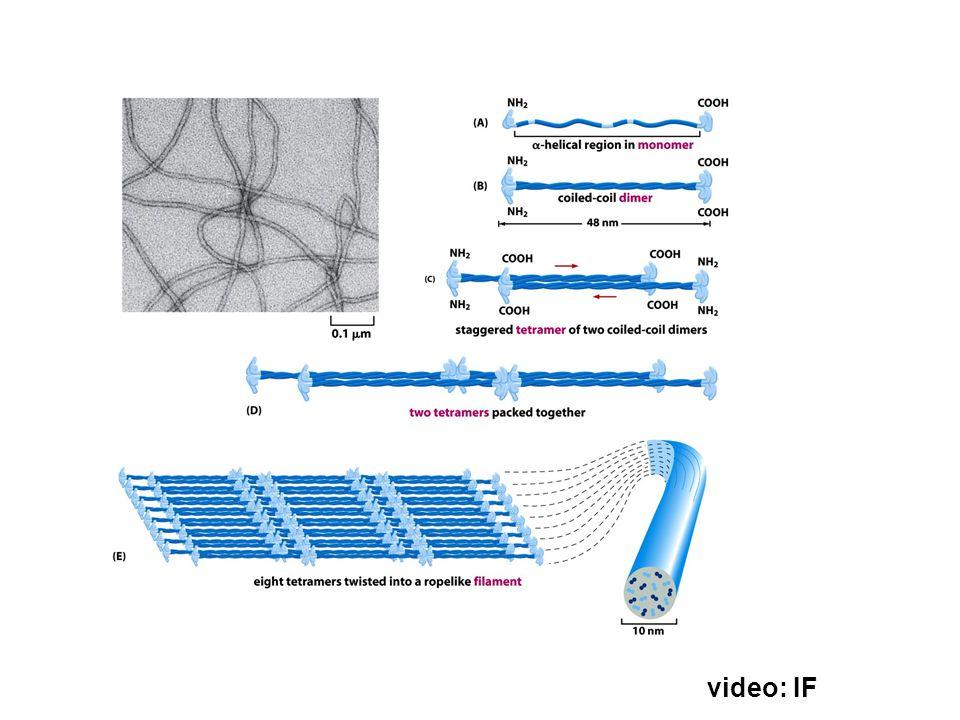 Lamin A Lamin B Lamin C NF-L NF-M NF-H Internexin (embryo) Desmin (muskel) Vimentin (fibroblast, leukocyte, endotel) GFAP (glia) sur + basisk (>15) (heterotetramer) (epitel, forhornet epitel, hår, negler…)