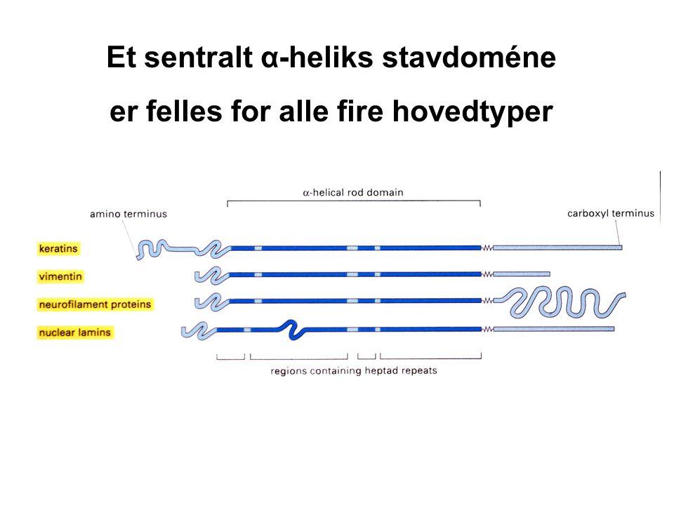 Nevrofilamenter -Nevrofilament gir strekkstyrke til lange aksoner - og avgjør aksondiameter  signalhastighet