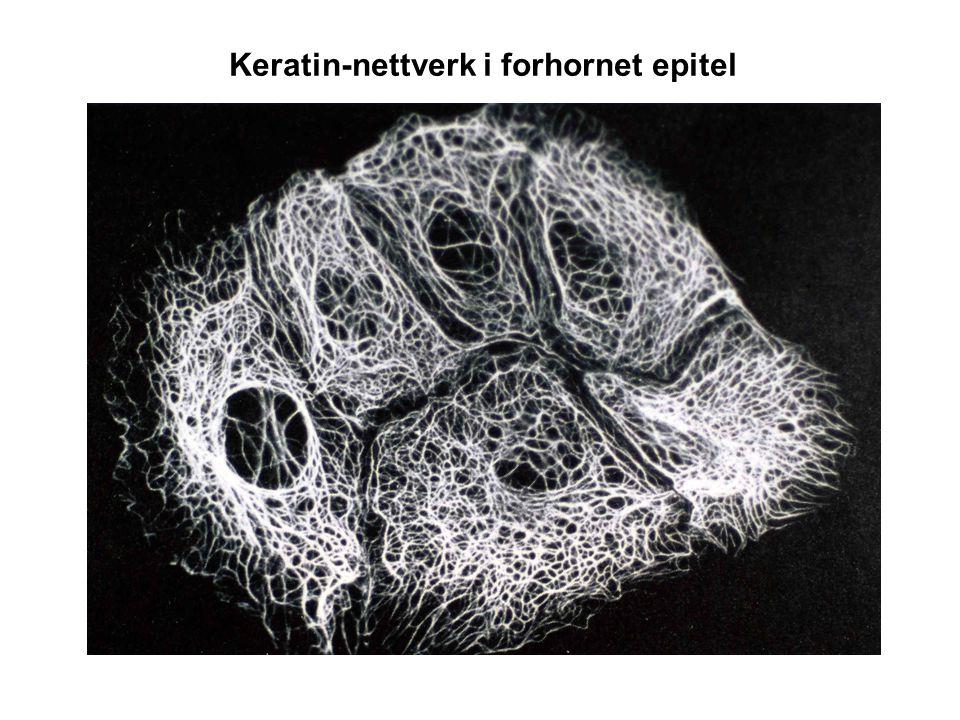 Noen kilder og tips Linker lagt ut på min hjemmeside http://folk.uio.no/torgeirh/fag.html Kommentert celle-animasjons video fra XVIVO Prosjektet ved Harvard http://folk.uio.no/torgeirh/transfer/Inner+Life+Of+the+Cell+(Full).mp4 Lodish et al Molecular Cell Biology (1st Edition) online på PubMed Books http://www.ncbi.nlm.nih.gov/books/bv.fcgi?rid=mcb.TOC Alberts et al Molecular Biology of the Cell på PubMed Books: http://www.ncbi.nlm.nih.gov/books/bv.fcgi?rid=mboc4.TOC&depth=2 Anbefaler også Pollard & Earnshaw Cell Biology E-mail: torgeir.holen@medisin.uio.no: Lab og kontor (rom 0292) – like ved piano i atriet