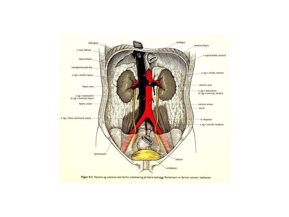 NYREBEKKEN (pelvis renalis) og URINLEDER (ureter) utgjør øvre urinvei, som fører urin fra nyrene til BLÆREN (vesica urinaria).