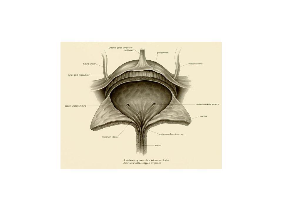 Medulla renalis – finnes som pyramider, pyramides renales, basis vender mot barken.
