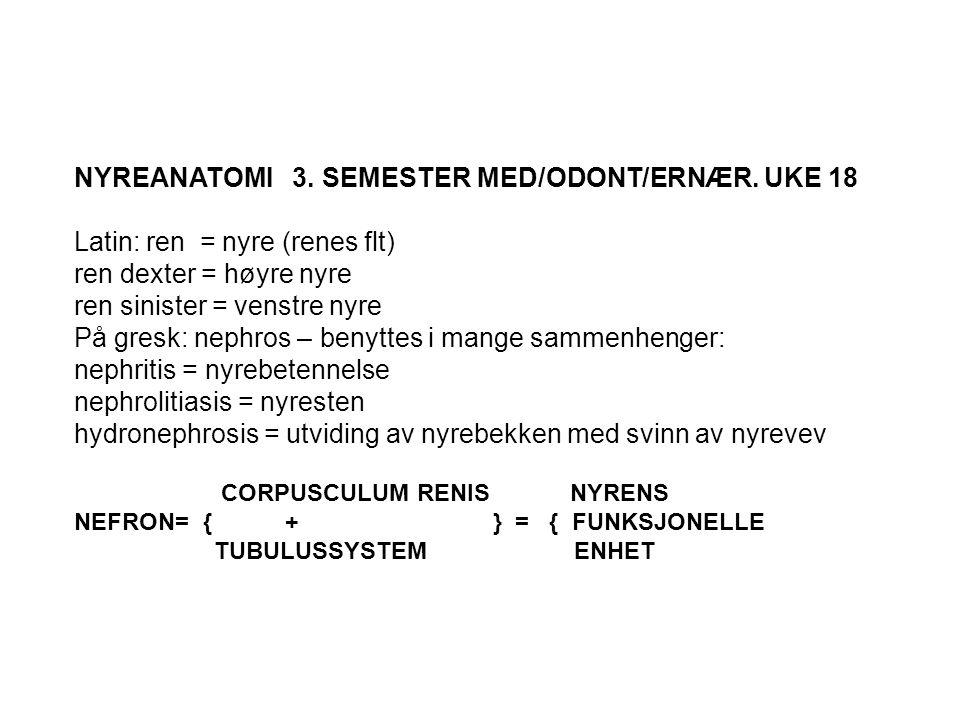 NYREANATOMI 3. SEMESTER MED/ODONT/ERNÆR. UKE 18 Latin: ren = nyre (renes flt) ren dexter = høyre nyre ren sinister = venstre nyre På gresk: nephros –