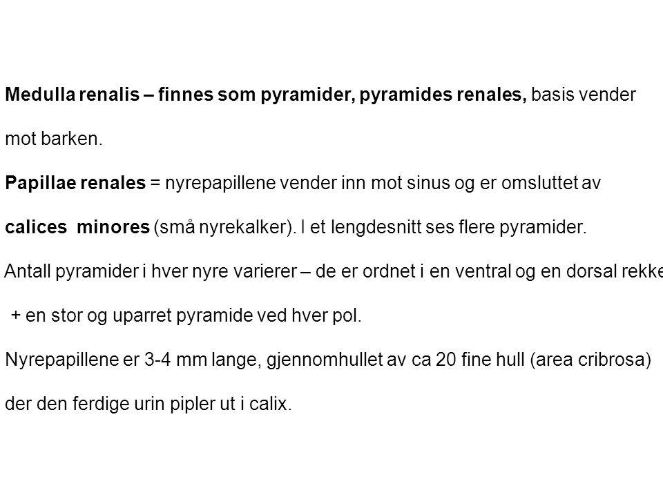 Medulla renalis – finnes som pyramider, pyramides renales, basis vender mot barken. Papillae renales = nyrepapillene vender inn mot sinus og er omslut