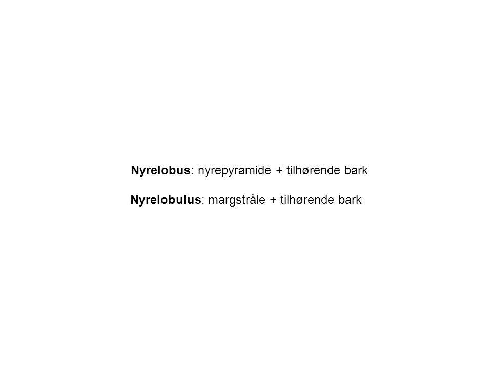 Nyrelobus: nyrepyramide + tilhørende bark Nyrelobulus: margstråle + tilhørende bark