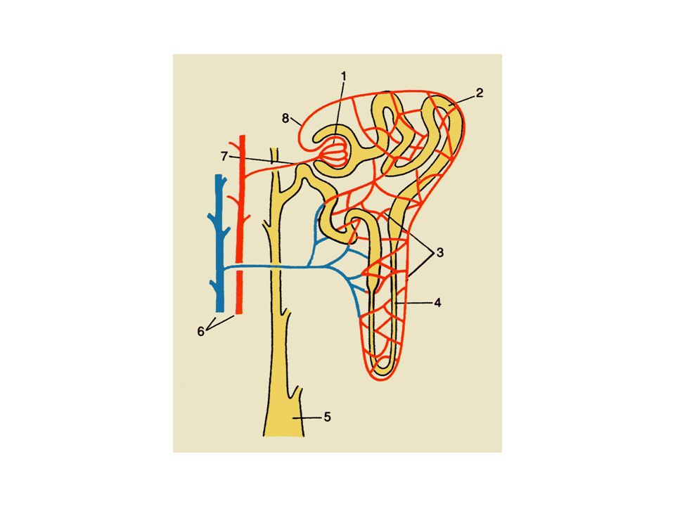 Pelvis renalis ligger delvis innenfor sinus renalis, delvis utenfor, går uten skarp ytre grense over i ureter ut for nedre nyrepol og er avflatet forfra bakover.