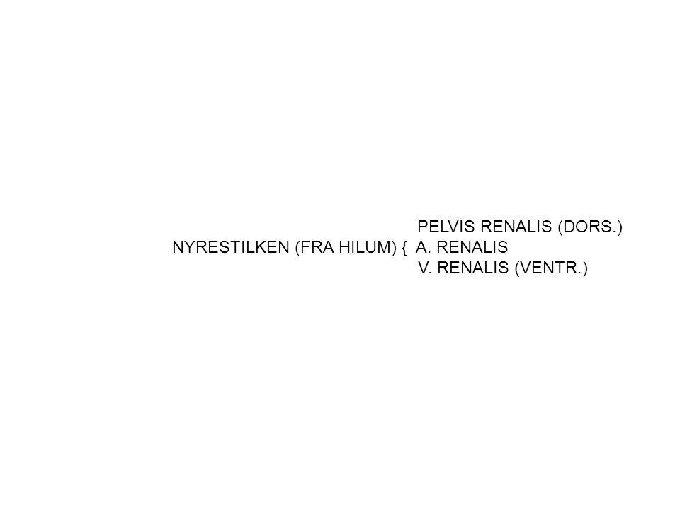 PELVIS RENALIS (DORS.) NYRESTILKEN (FRA HILUM) { A. RENALIS V. RENALIS (VENTR.)