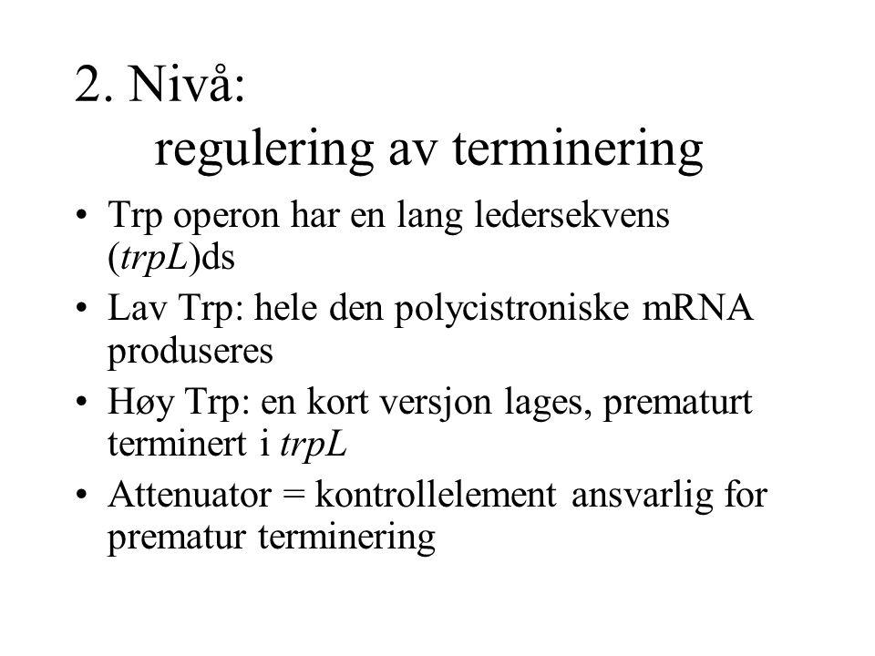 2. Nivå: regulering av terminering Trp operon har en lang ledersekvens (trpL)ds Lav Trp: hele den polycistroniske mRNA produseres Høy Trp: en kort ver