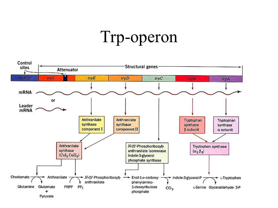 Trp-operon