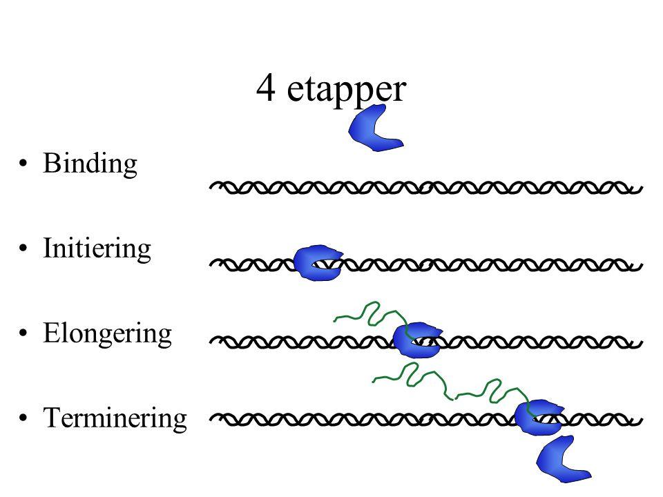 4 etapper Binding Initiering Elongering Terminering