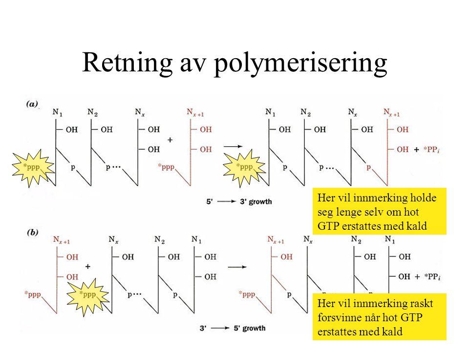 Retning av polymerisering Her vil innmerking raskt forsvinne når hot GTP erstattes med kald Her vil innmerking holde seg lenge selv om hot GTP erstatt