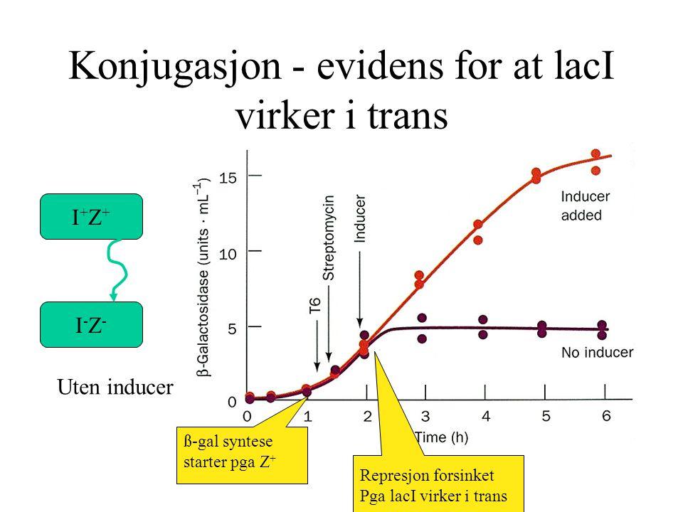 Konjugasjon - evidens for at lacI virker i trans I+Z+I+Z+ I-Z-I-Z- Uten inducer ß-gal syntese starter pga Z + Represjon forsinket Pga lacI virker i tr