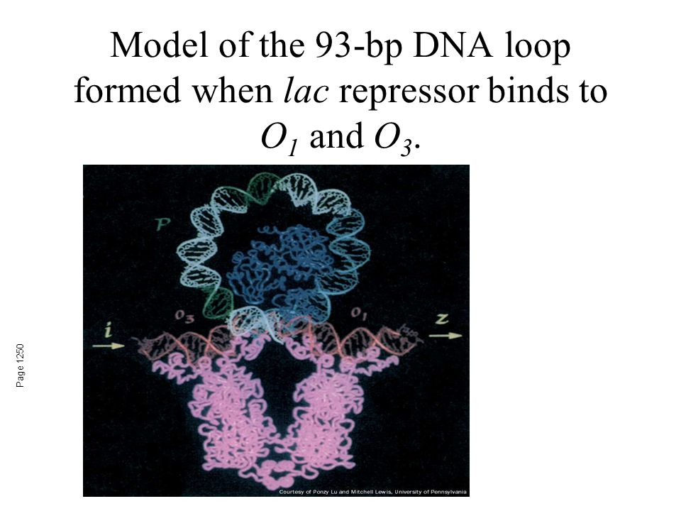 Model of the 93-bp DNA loop formed when lac repressor binds to O 1 and O 3. Page 1250