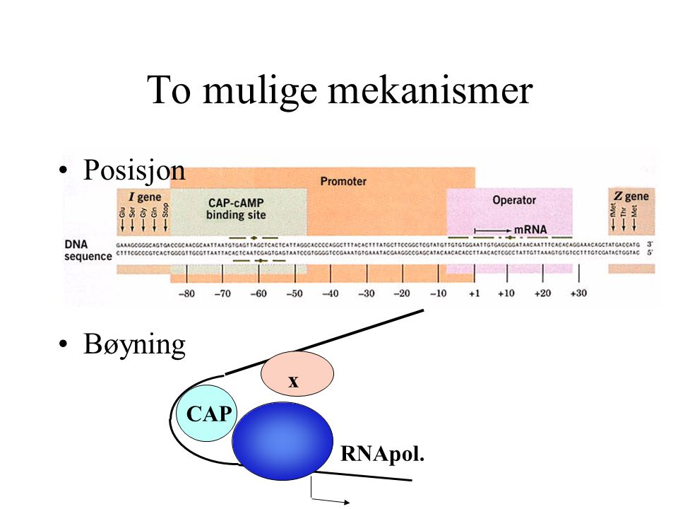 To mulige mekanismer Posisjon Bøyning CAP x RNApol.
