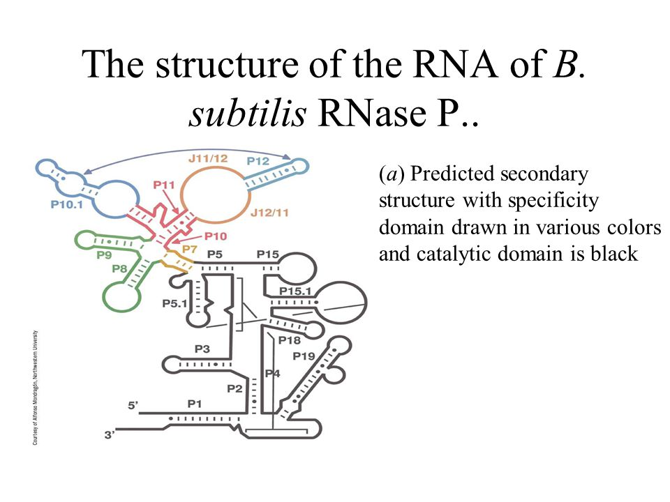 The structure of the RNA of B. subtilis RNase P.. (a) Predicted secondary structure with specificity domain drawn in various colors and catalytic doma