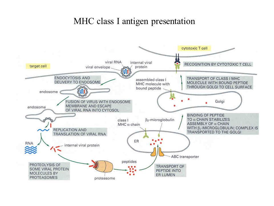 MHC class I antigen presentation