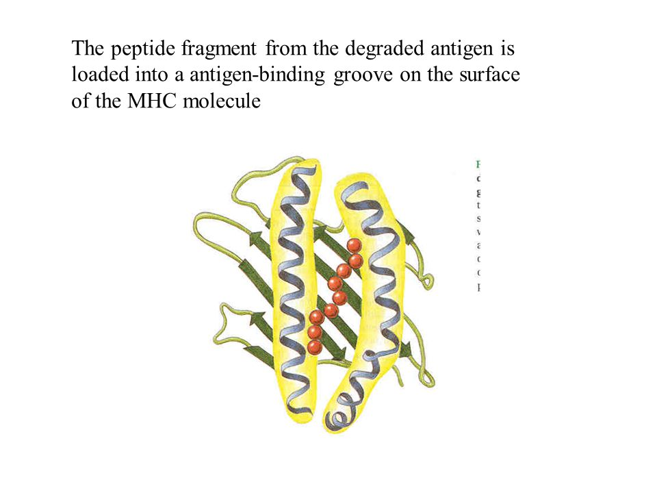 The peptide fragment from the degraded antigen is loaded into a antigen-binding groove on the surface of the MHC molecule