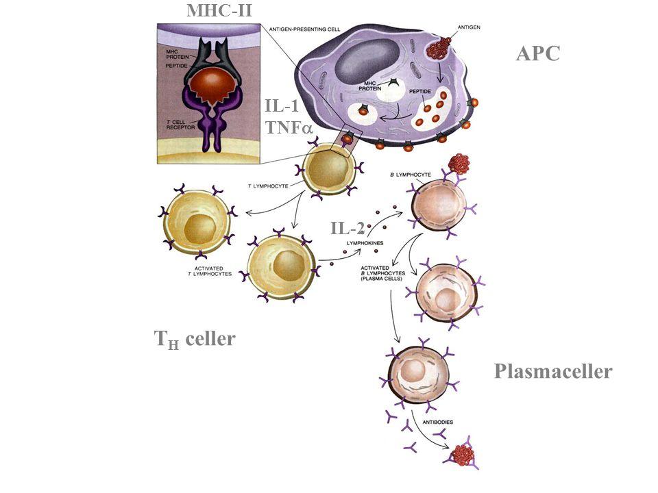 APC T H celler Plasmaceller IL-2 IL-1 TNF  MHC-II