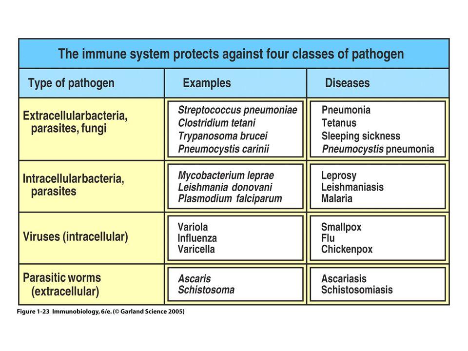 KROPPENS FORSVARSCELLER Leukocytter –Granulocytter Nøytrofile Eosinofile Basofile –Monocytter –Lymfocytter Vevsbaserte celler –Makrofager –Makrofag-lignende celler (eks.