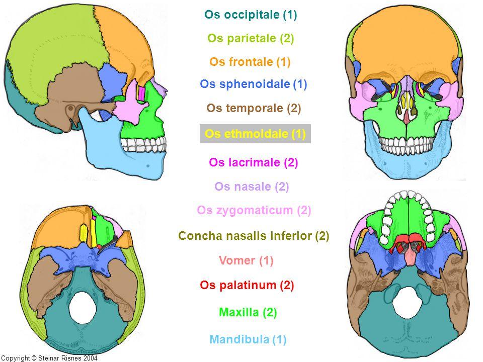 Os occipitale (1) Os parietale (2) Os frontale (1) Os sphenoidale (1) Os temporale (2) Os ethmoidale (1) Os lacrimale (2) Os nasale (2) Os zygomaticum