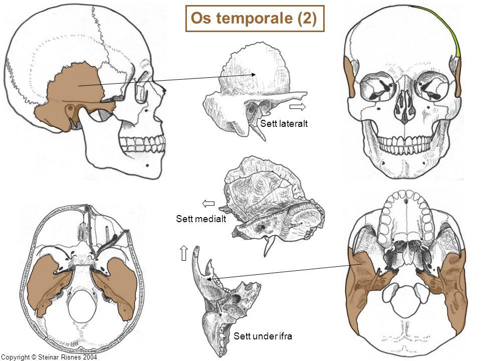 Os temporale (2) Sett medialt Sett under ifra Sett lateralt Copyright © Steinar Risnes 2004