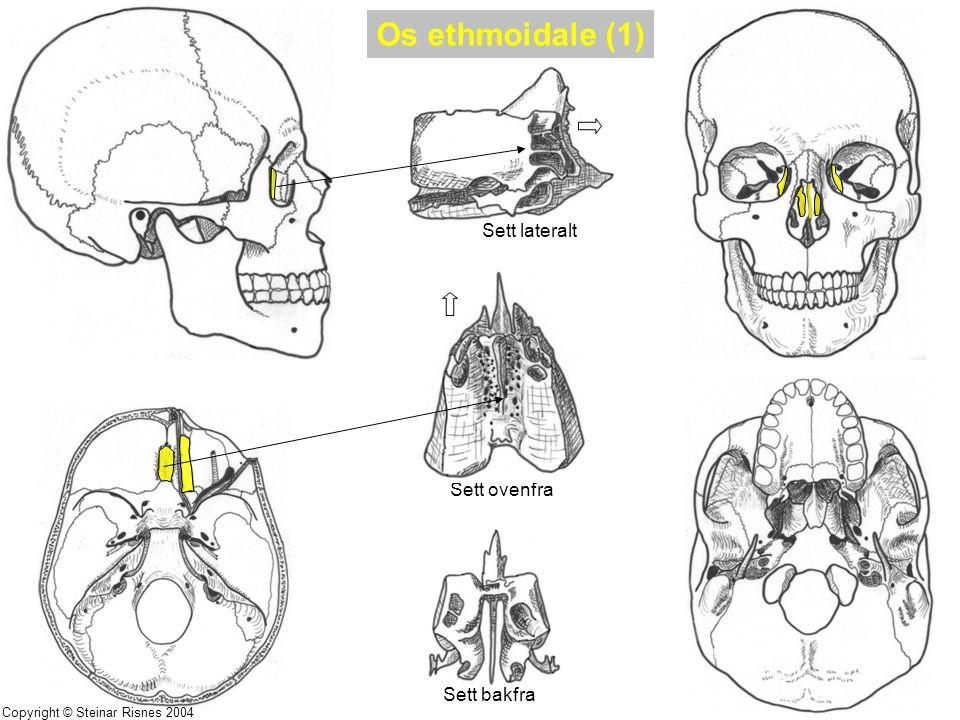 Os ethmoidale (1) Sett lateralt Sett ovenfra Sett bakfra Copyright © Steinar Risnes 2004
