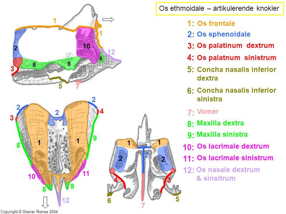 1 1 8 8 10 2 5 12 3 7 8 1 1 2 2 2 3 4 8 9 9 8 10 11 12 1 1 2 2 4 3 5 6 2 7 Os ethmoidale – artikulerende knokler 1: Os frontale 2: Os sphenoidale 3: O