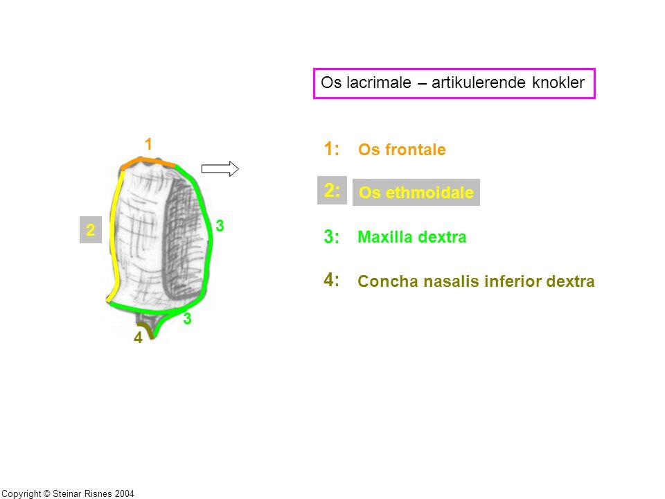 1 2 3 3 4 Os lacrimale – artikulerende knokler 1: Os frontale 2: Os ethmoidale 3: Maxilla dextra 4: Concha nasalis inferior dextra Copyright © Steinar