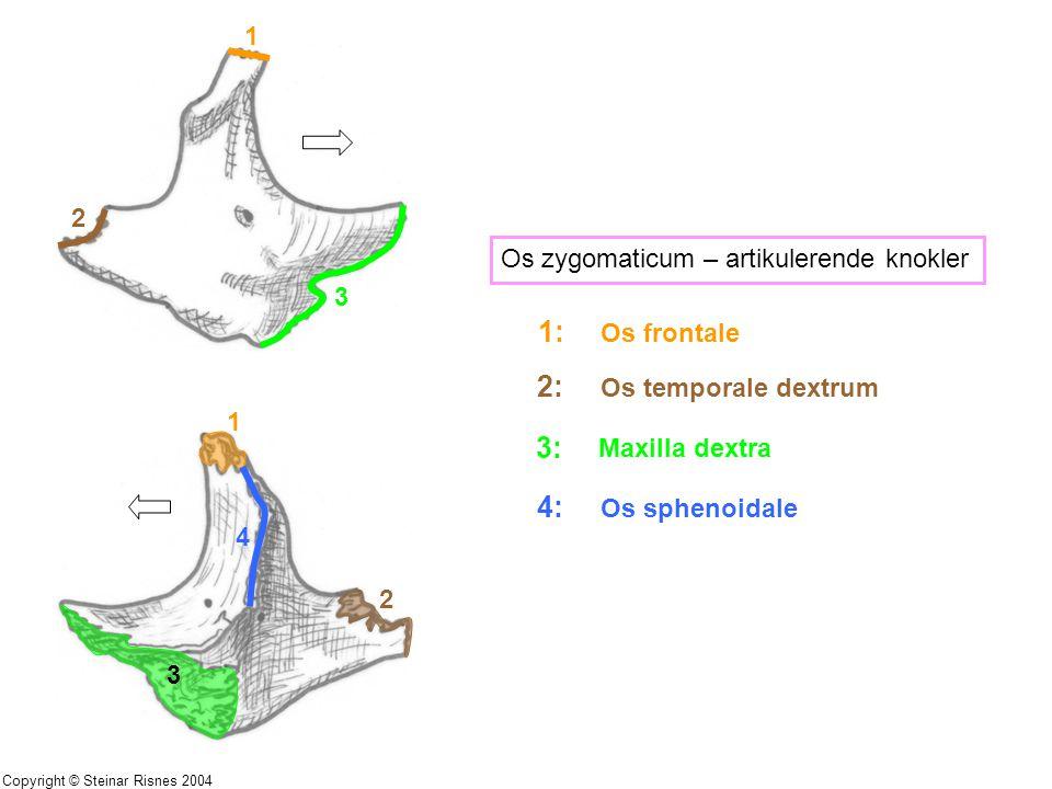 1 2 3 1 2 3 4 Os zygomaticum – artikulerende knokler 1: Os frontale 2: Os temporale dextrum 3: Maxilla dextra 4: Os sphenoidale Copyright © Steinar Ri