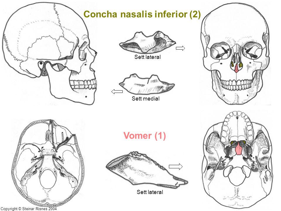 Concha nasalis inferior (2) Vomer (1) Sett lateral Sett medial Sett lateral Copyright © Steinar Risnes 2004