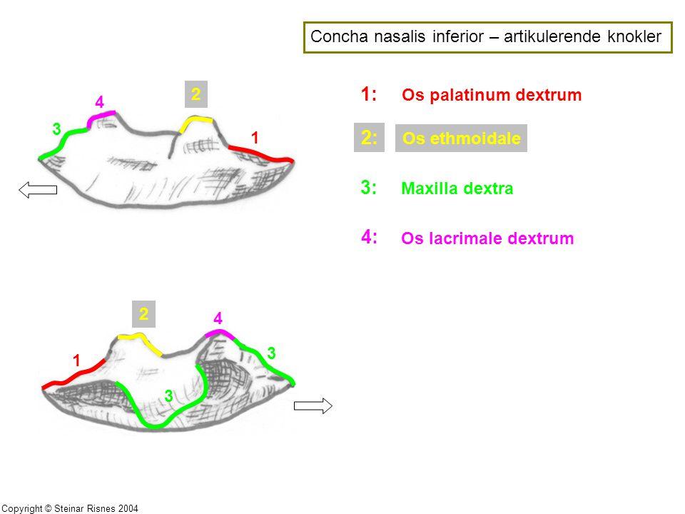 Concha nasalis inferior – artikulerende knokler 1 1 2 2 3 3 3 4 4 1: 2: 3: 4: Os palatinum dextrum Os ethmoidale Maxilla dextra Os lacrimale dextrum C