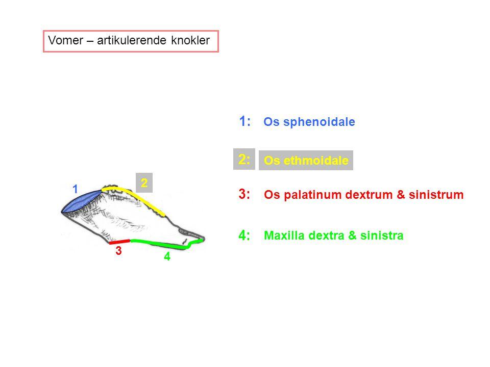 Vomer – artikulerende knokler 1 2 3 4 1: Os sphenoidale 2: Os ethmoidale 3: Os palatinum dextrum & sinistrum 4: Maxilla dextra & sinistra