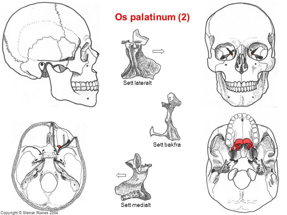 Os palatinum (2) Sett lateralt Sett bakfra Sett medialt Copyright © Steinar Risnes 2004