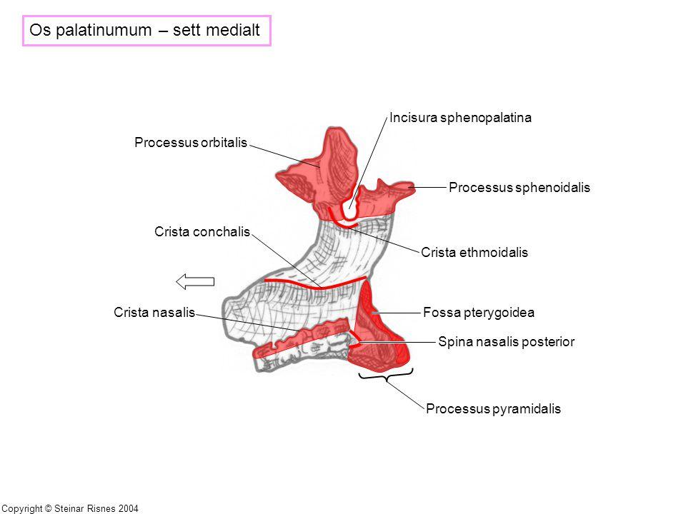 Os palatinumum – sett medialt Processus sphenoidalis Crista ethmoidalis Crista conchalis Fossa pterygoidea Spina nasalis posterior Processus pyramidal