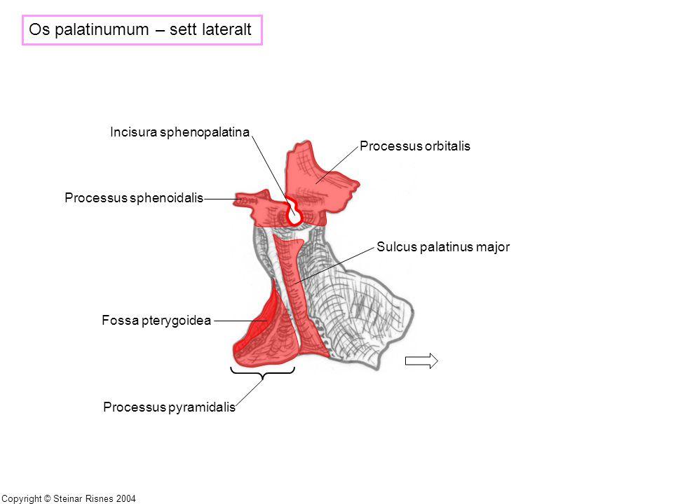 Os palatinumum – sett lateralt Processus sphenoidalis Processus orbitalis Incisura sphenopalatina Sulcus palatinus major Fossa pterygoidea Processus p