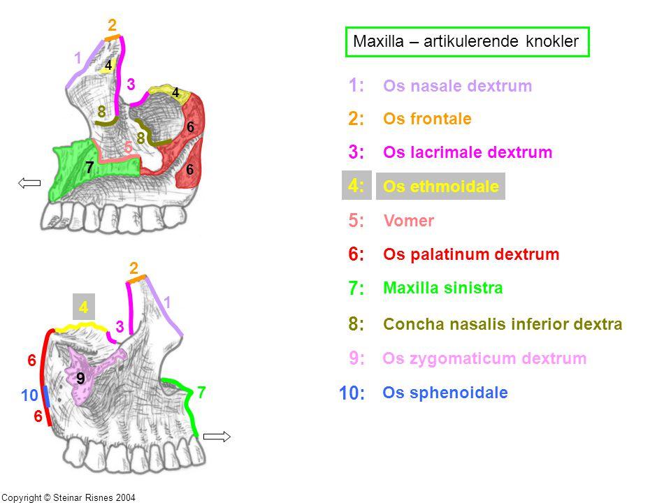 Maxilla – artikulerende knokler 1 2 3 4 4 5 6 6 7 8 8 1 2 3 4 6 7 9 10 6 1: 2: 3: 4: 5: 6: 7: 8: 9: 10: Os nasale dextrum Os frontale Os lacrimale dex