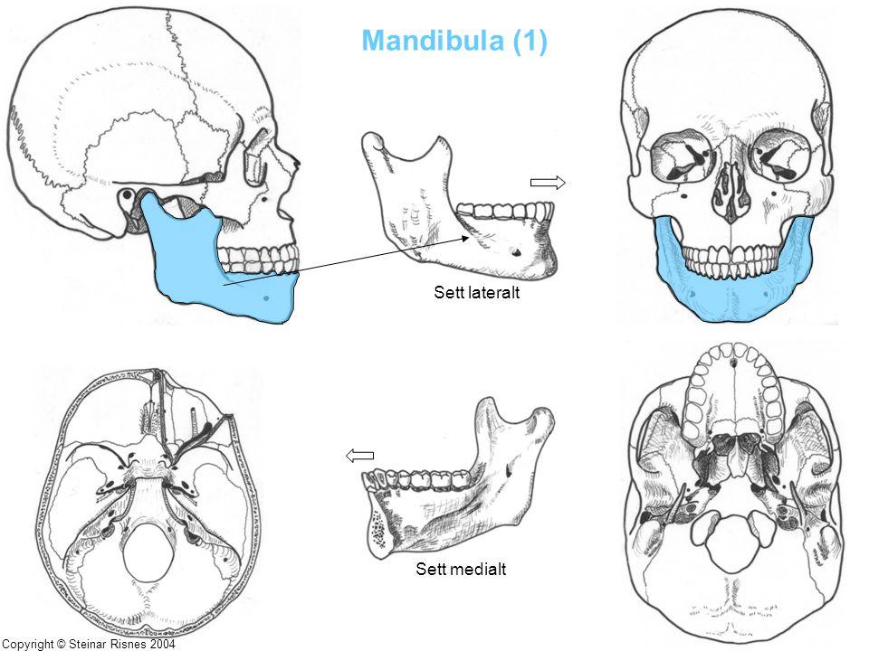 Mandibula (1) Sett lateralt Sett medialt Copyright © Steinar Risnes 2004