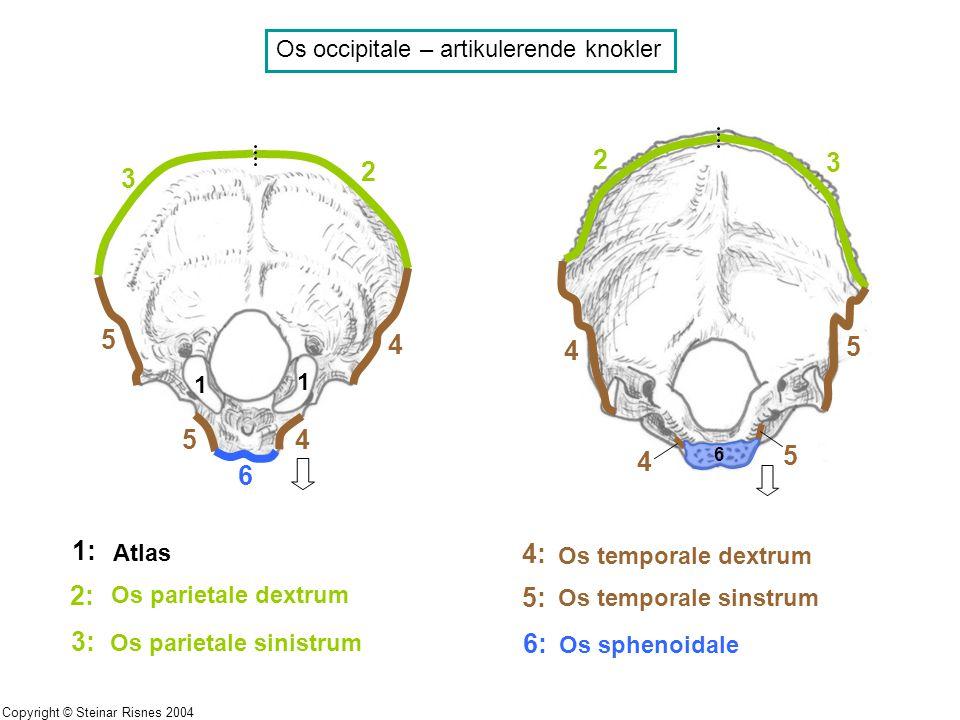 Os occipitale – artikulerende knokler 1 1 1: Atlas 2 2 3 3 4 4 4 4 5 5 5 5 2: Os parietale dextrum 6 6 3: Os parietale sinistrum 4: Os temporale dextr