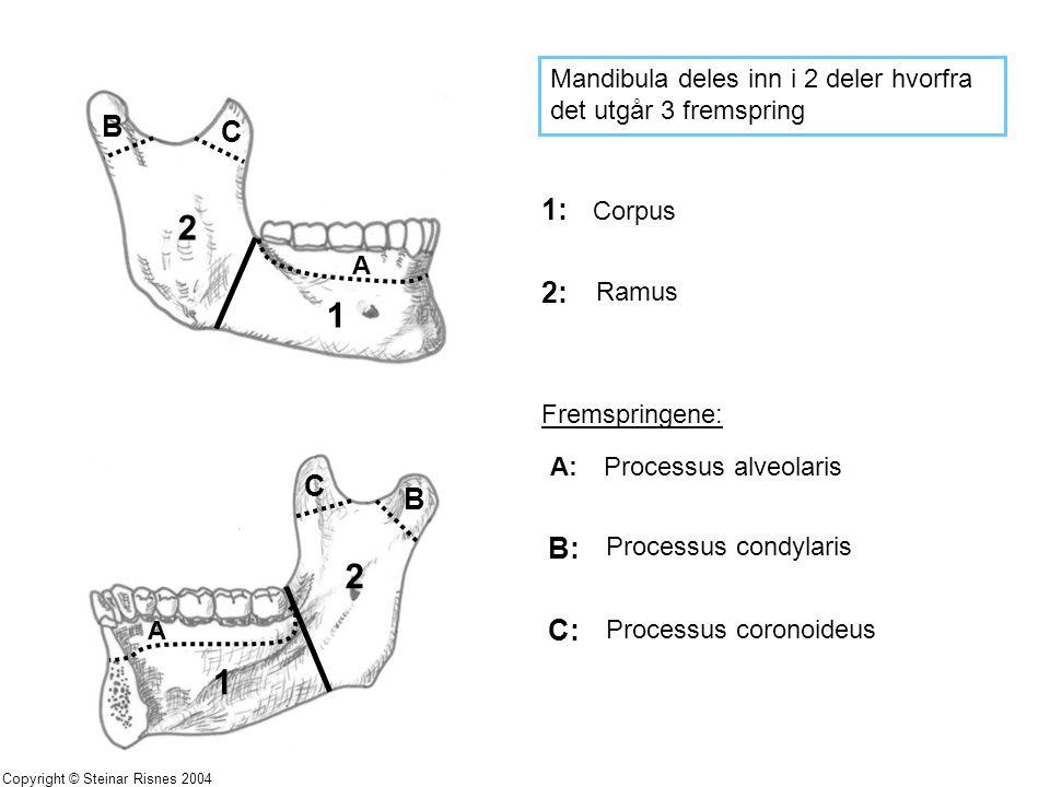Mandibula deles inn i 2 deler hvorfra det utgår 3 fremspring 1: 2: Fremspringene: A: B: C: Corpus Ramus Processus alveolaris Processus condylaris Proc
