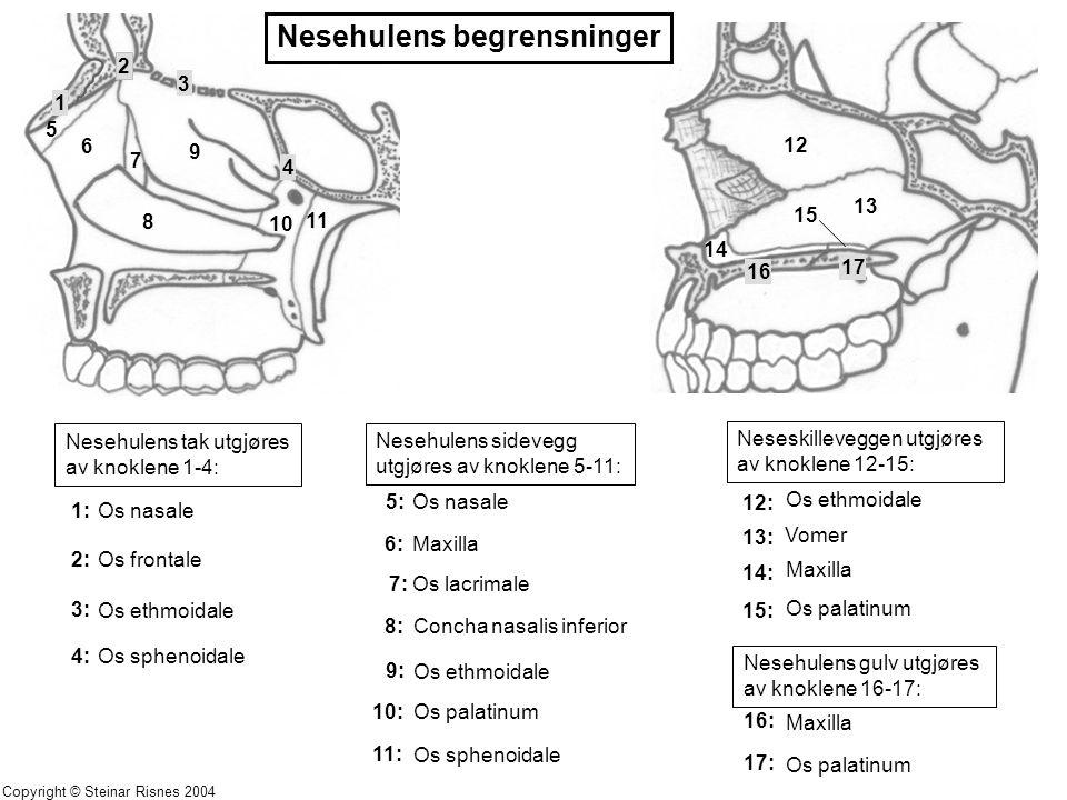Nesehulens tak utgjøres av knoklene 1-4: Nesehulens sidevegg utgjøres av knoklene 5-11: Neseskilleveggen utgjøres av knoklene 12-15: Nesehulens gulv u