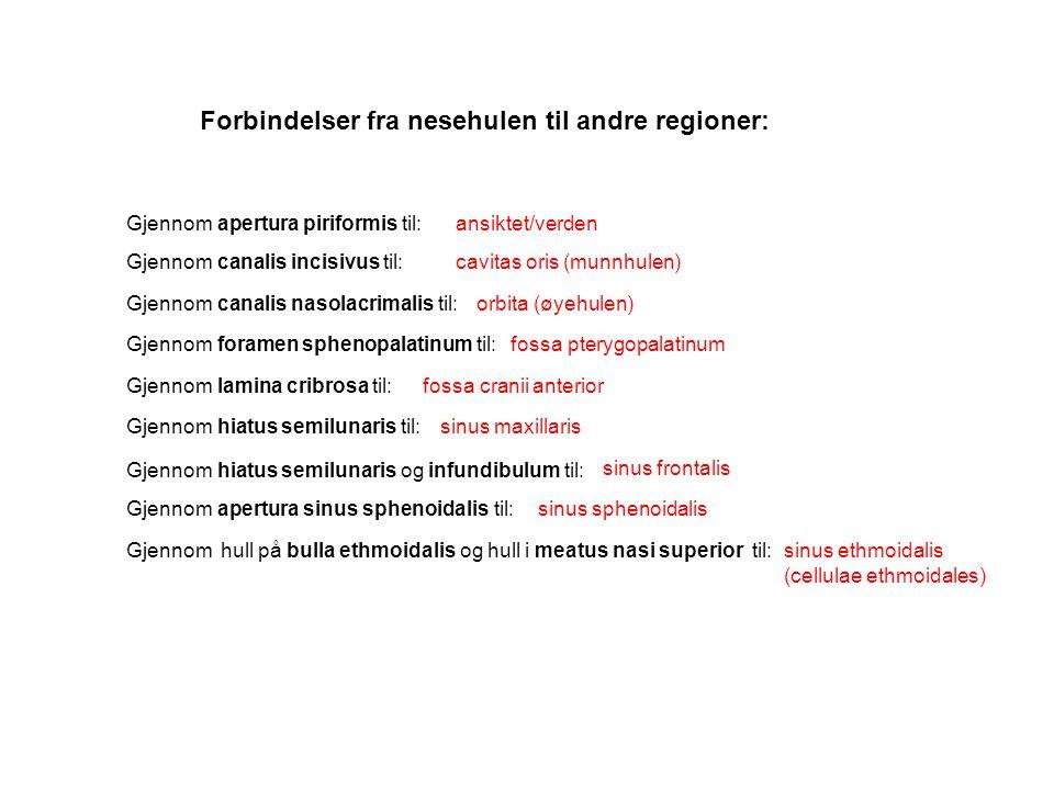 Forbindelser fra nesehulen til andre regioner: Gjennom apertura piriformis til: Gjennom canalis incisivus til: Gjennom canalis nasolacrimalis til: Gje