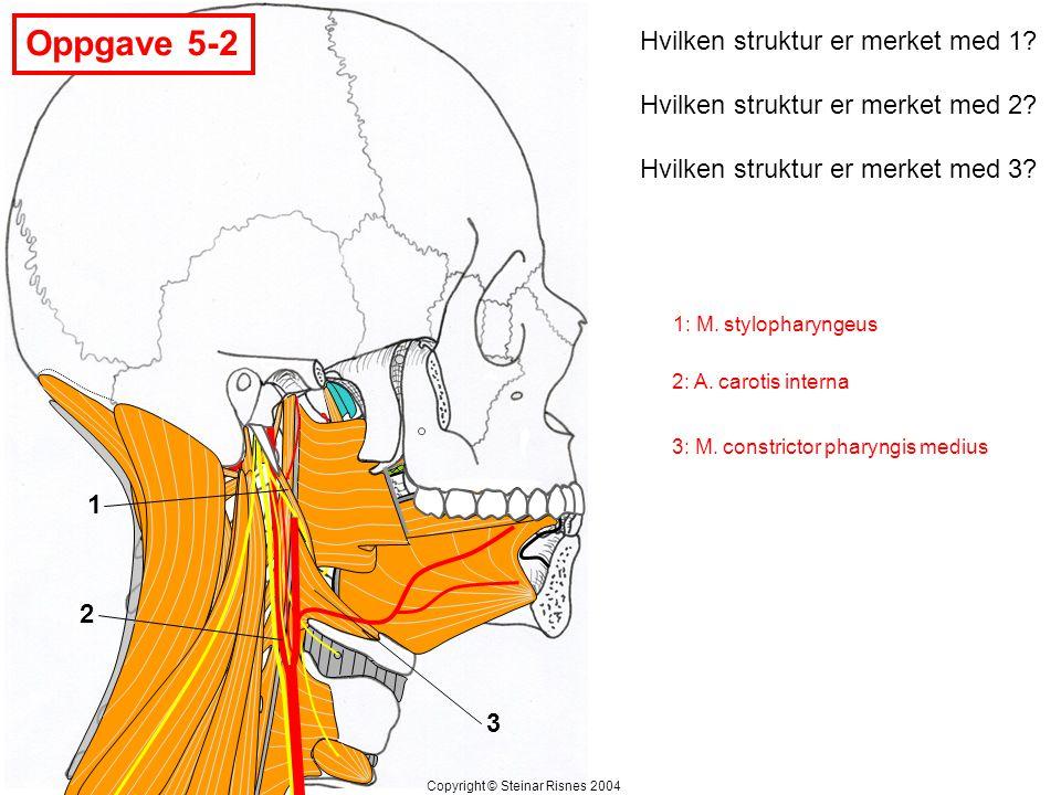 Oppgave 5-3 Hvilken struktur er merket med 1.Hvilken vene er merket med 2.