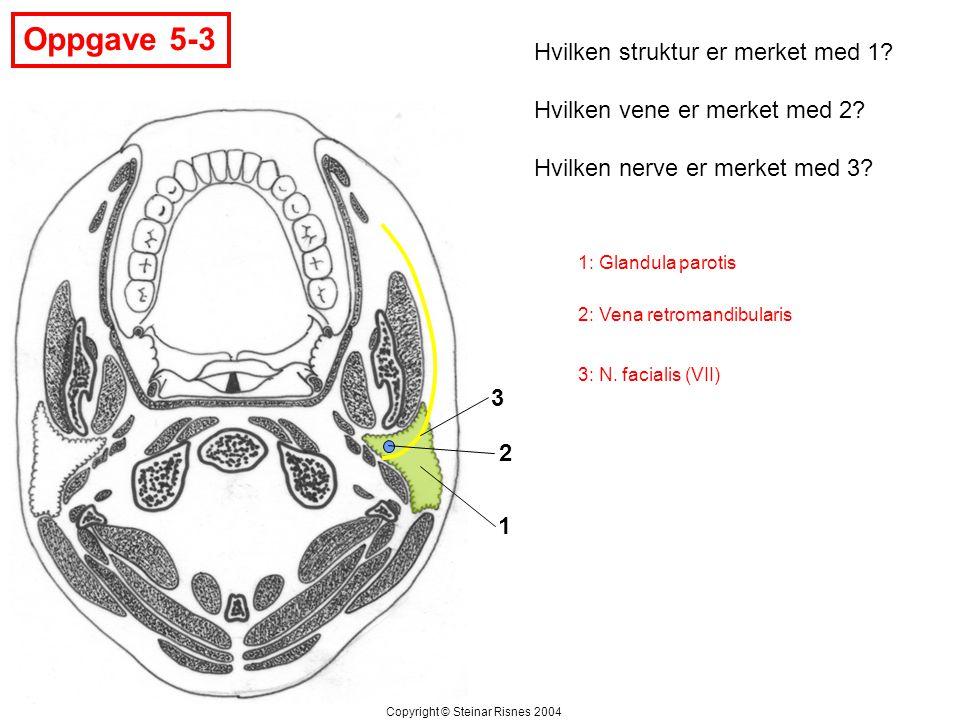 Oppgave 5-3 Hvilken struktur er merket med 1? Hvilken vene er merket med 2? Hvilken nerve er merket med 3? 1 2 3 Copyright © Steinar Risnes 2004 1: Gl