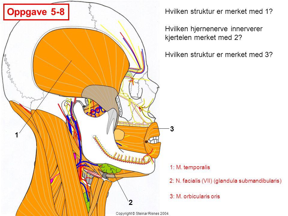 Oppgave 5-9 1 2 3 Hvilken knokkel artikulerer med området merket med 1.
