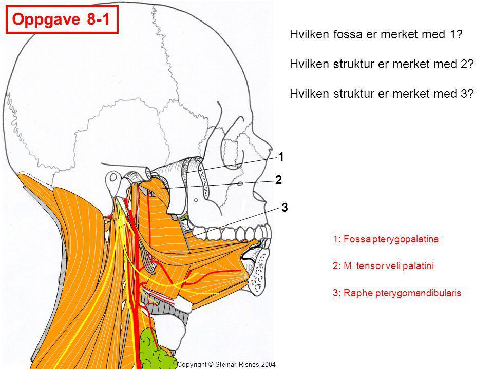 Copyright © Steinar Risnes 2004 Oppgave 8-1 1 2 3 Hvilken fossa er merket med 1? Hvilken struktur er merket med 2? Hvilken struktur er merket med 3? 1