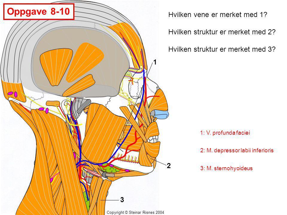 Copyright © Steinar Risnes 2004 Oppgave 8-10 1 2 3 Hvilken vene er merket med 1? Hvilken struktur er merket med 2? Hvilken struktur er merket med 3? 1