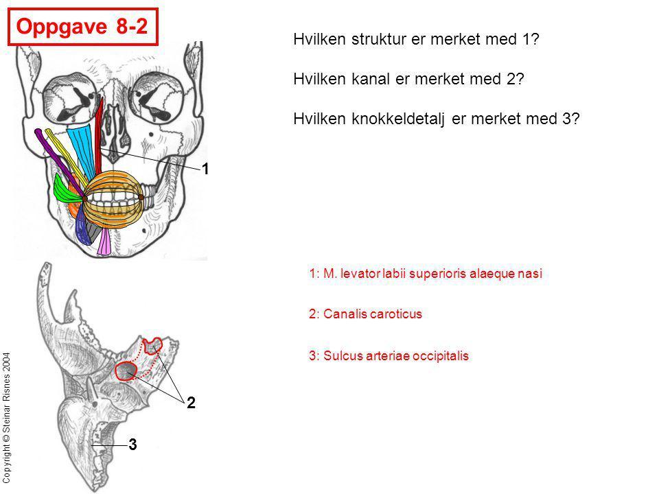 Copyright © Steinar Risnes 2004 Oppgave 8-2 3 2 1 Hvilken struktur er merket med 1? Hvilken kanal er merket med 2? Hvilken knokkeldetalj er merket med