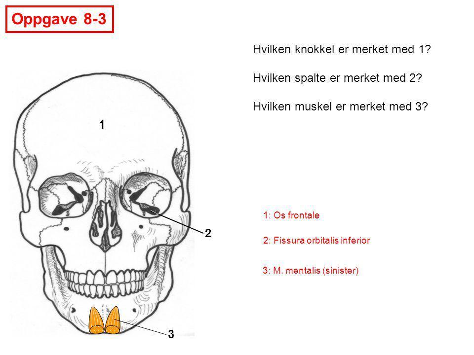 1 2 3 Oppgave 8-3 Hvilken knokkel er merket med 1? Hvilken spalte er merket med 2? Hvilken muskel er merket med 3? 1: Os frontale 2: Fissura orbitalis