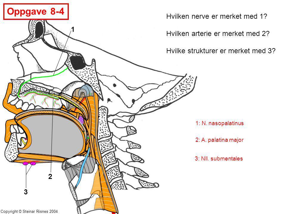 Copyright © Steinar Risnes 2004 Oppgave 8-4 1 2 3 Hvilken nerve er merket med 1? Hvilken arterie er merket med 2? Hvilke strukturer er merket med 3? 1