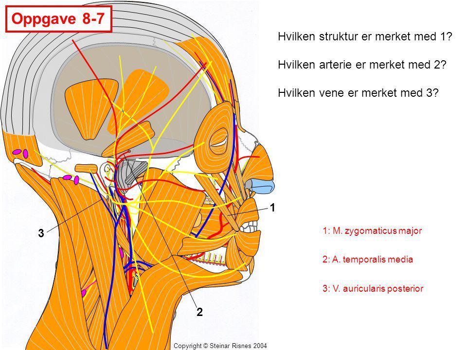 Copyright © Steinar Risnes 2004 Oppgave 8-7 1 2 3 Hvilken struktur er merket med 1? Hvilken arterie er merket med 2? Hvilken vene er merket med 3? 1:
