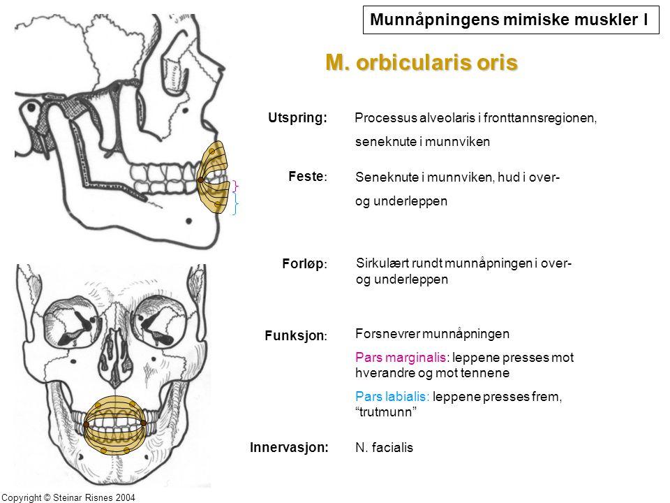 Munnåpningens mimiske muskler I M. orbicularis oris Utspring: Feste : Seneknute i munnviken, hud i over- og underleppen Forløp : Sirkulært rundt munnå